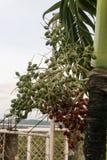 Verde das bagas da palmeira na cor Fotografia de Stock