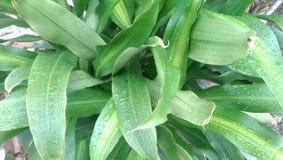 Verde das folhas Foto de Stock Royalty Free