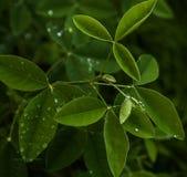 Verde das folhas Fotografia de Stock Royalty Free
