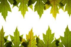 Verde das folhas de plátano com as veias vermelhas Backlit Imagem de Stock Royalty Free