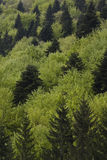 Verde de bosque Fotos de archivo libres de regalías