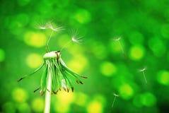 Verde de diente de león Fotos de archivo