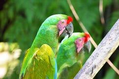 Verde de dos loros en pájaros tropicales del bosque fotografía de archivo