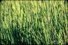 Verde de grama do verão imagens de stock