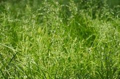 Verde de grama Fundo do verão Foto de Stock Royalty Free