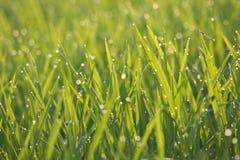 Verde de grama na manhã imagens de stock