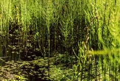 Verde de la cola de caballo de pantano Imagen de archivo libre de regalías