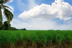 Verde de la granja del maíz con el cielo azul y las nubes por la mañana en Tailandia fotos de archivo libres de regalías