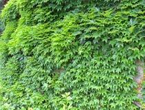 Verde de la hiedra Fotografía de archivo