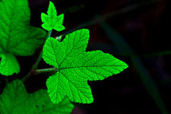 Verde de la hoja Imágenes de archivo libres de regalías