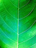 Verde de la hoja Imagen de archivo