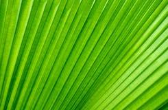 Verde de la hoja de palma imagenes de archivo