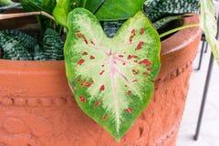 Verde de la hoja del Caladium con las venas rosadas imagen de archivo libre de regalías