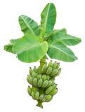 Verde de la hoja del plátano Foto de archivo libre de regalías