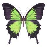 Verde de la mariposa Foto de archivo libre de regalías