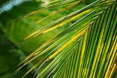 Verde de la mirada de la hoja del coco fresco Fotos de archivo libres de regalías
