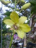 Verde de la orquídea Foto de archivo