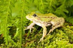Verde de la rana Imagen de archivo libre de regalías