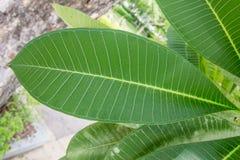 Verde de las hojas Fotografía de archivo