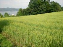 Verde de los campos de trigo Fotografía de archivo libre de regalías