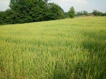 Verde de los campos de trigo Imágenes de archivo libres de regalías