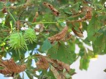 ` Verde de los erizos del ` de la castaña Fotos de archivo