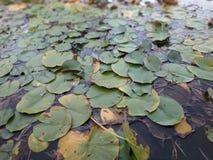 Verde de los lirios de agua de las ninfas de la flor fotografía de archivo libre de regalías