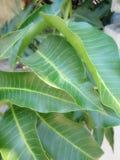 verde de los mangos de la hoja imagenes de archivo