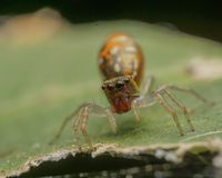 Verde de salto da aranha imagem de stock
