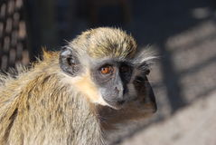 verde de singe de cap de l'Afrique Images libres de droits
