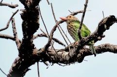 Verde degli uccelli Fotografia Stock Libera da Diritti