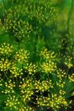 verde dei graveolens dell'aneto del anethum Fotografie Stock Libere da Diritti