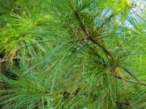 Verde del árbol de pino Imagen de archivo libre de regalías