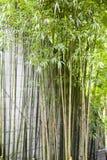 verde del bambù Immagine Stock Libera da Diritti