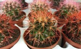 Verde del cactus con las agujas rojas Cactus en potes Fondo floral Fotografía de archivo libre de regalías
