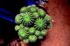 Verde del cactus Cactus coperto di spine spiny barilotto immagini stock