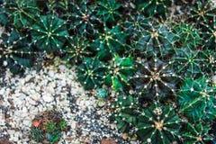 Verde del cactus di Echinopsis fotografia stock