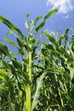verde del cereale Immagine Stock