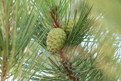 Verde del cono del pino foto de archivo libre de regalías