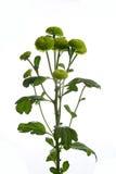 Verde del filin de la flor Foto de archivo libre de regalías