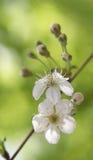 verde del fiore di fine della ciliegia della priorità bassa in su Fotografie Stock Libere da Diritti