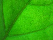 Verde del foglio Immagini Stock Libere da Diritti