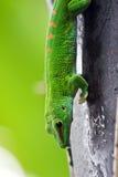 verde del gecko fotografia stock