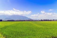 Verde del giacimento del riso di agricoltura Fotografia Stock