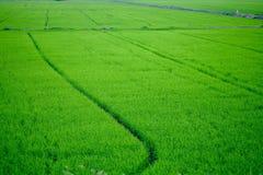 Verde del giacimento del riso nella sera Fotografia Stock Libera da Diritti