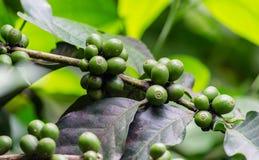 Verde del grano de café de la semilla en la falta de definición de la rama el primero plano y el fondo Fotos de archivo libres de regalías