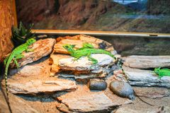 Verde del lagarto, colocándose en el terrario Fotografía de archivo