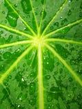 verde del leaft della pioggia Fotografia Stock