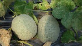 verde del melone Fotografia Stock