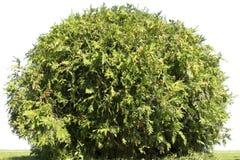 Verde del parco degli alberi giovane Immagine Stock